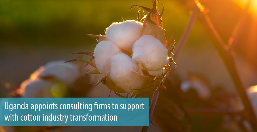 Uganda appoints consulting firms to support with cotton industry transformation